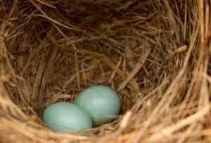 bluebird eggs 004
